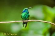 Groene violetoorkolibri - Green Violetear - Colibri thalassinus