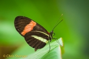 Heliconius erato - Red Postman Butterfly