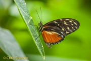 Heliconius hecale - Tiger Longwing - Heliconius hecale