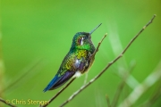 Purperkeeljuweelkolibrie - Purple-throated mountaingem - Lampornis calolaemus