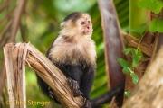 Witschouderkapucijnaap - White faced Capuchin monkey - Cebus capucinus