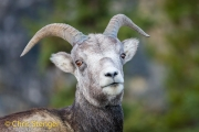 Stone Sheep-Ovis dalli stonei