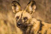 Afrikaanse wilde hond - African Wild Dog - Lycaon pictus