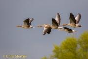 Grauwe gans - Graylag goose - Anser anser