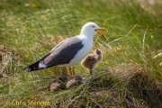 Kleine Mantelmeeuw - Lesser Black-backed Gull - Larus fuscus