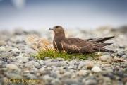 Middelste Jager - Pomarine Skua - Stercorarius pomarinus