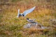 Noordse stern - Arctic Tern