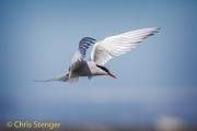 Noordse stern - Arctic Tern - Sterna paradisea
