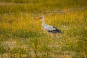 Ooievaar - White Stork - Ciconia ciconia