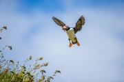 Papegaaiduiker - Atlantic Puffin - Fratercula arctica
