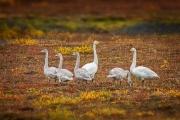 Wilde zwaan - Whooper Swan - Cygnus cygnus