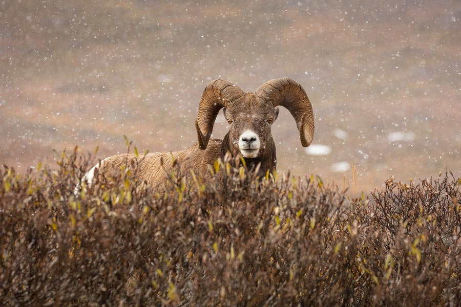 Dikhoornschaap  -Bighornsheep - Ovis Canadensis