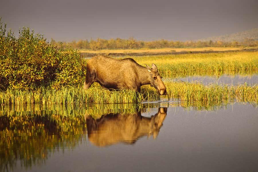 Eland - Moose