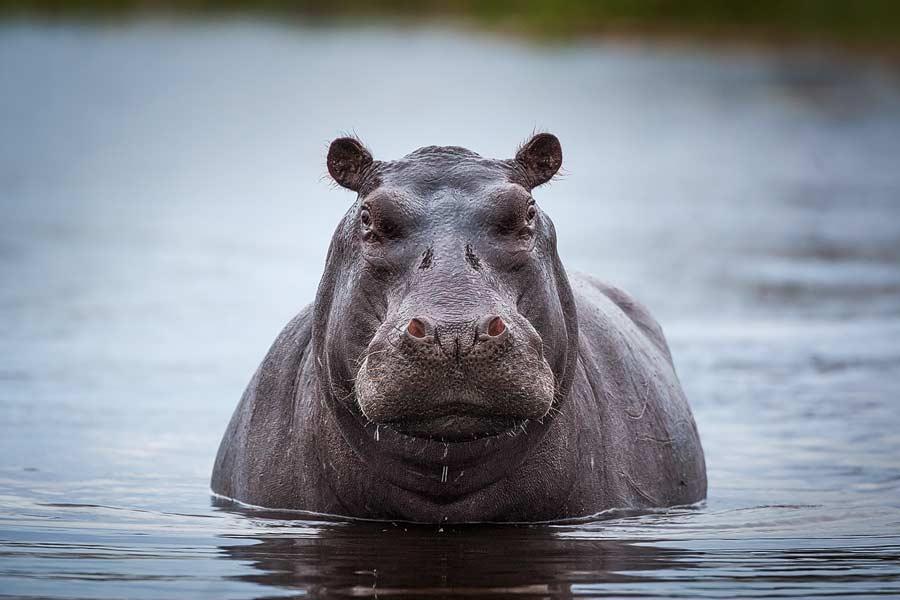 Nijlpaard - Hippopotamus