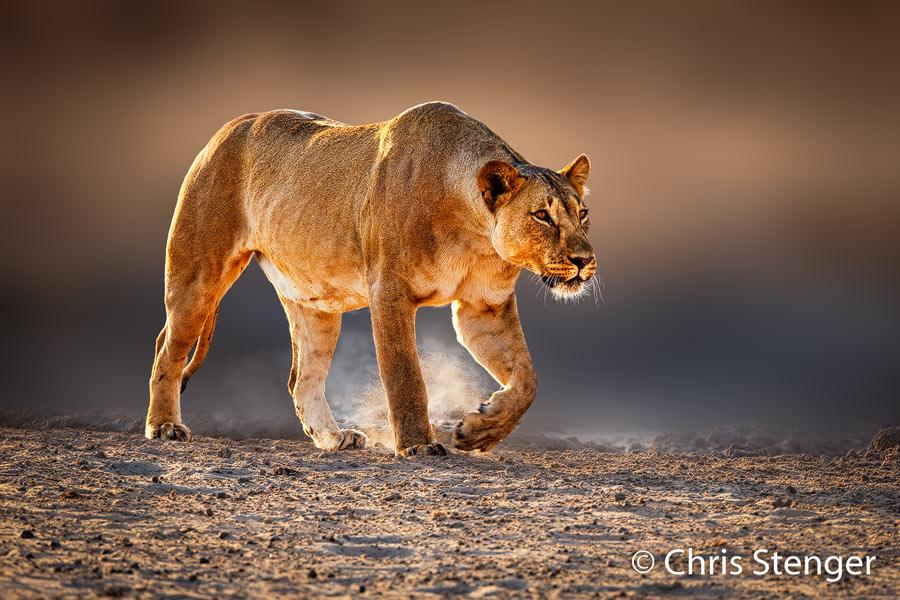 Leeuwin op jacht - Hunting lioness