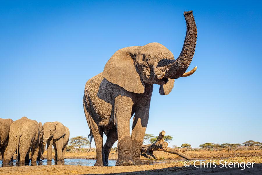 Afrikaanse olifant-African Elephant-Loxodonta africana