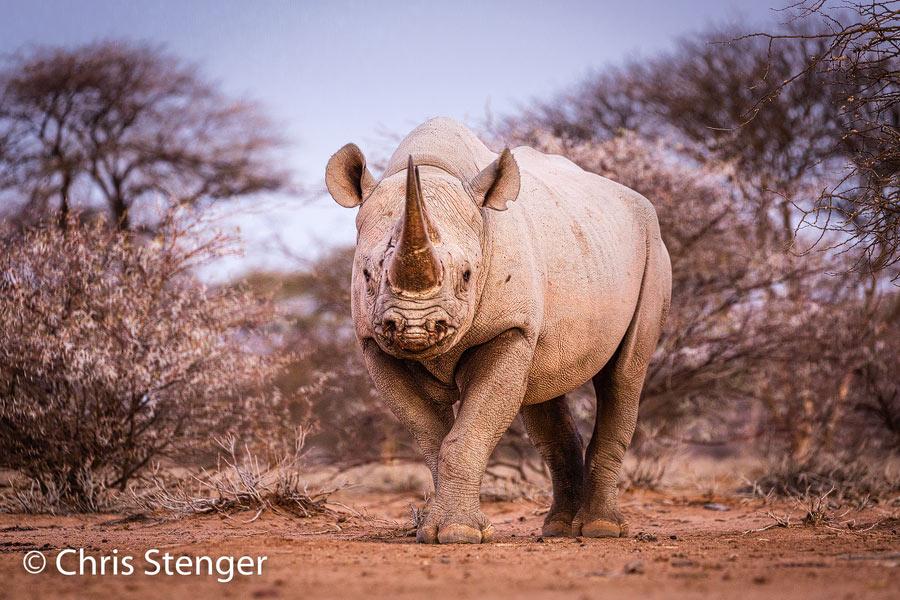 Zwarte neushoorn - Black rhinocero - Diceros bicornis
