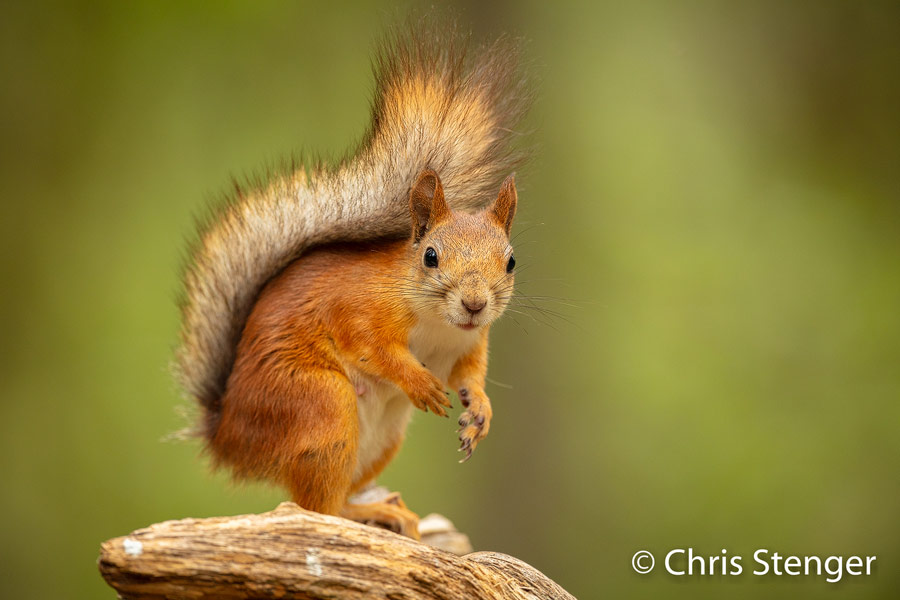 Rode eekhoorn - Red squirrel - Sciurus vulgarus