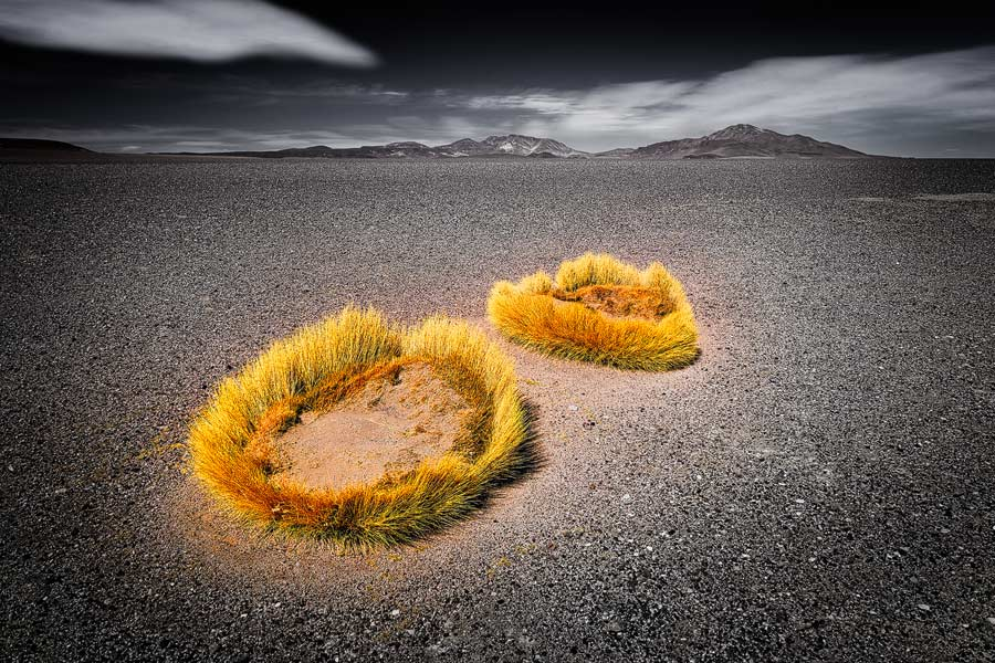 Punagras - Puna Grass
