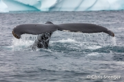 Bultrug-Humpback Whale-Megaptera novaeangliae