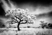Acacia boom - Acacia tree