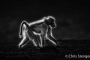 Beerbaviaan - Chacma baboon - Papio ursinus
