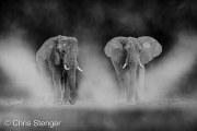 Woestijn Olifanten - Desert Elephants