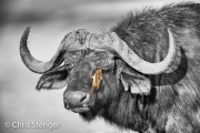Buffel met ossenpikker - Buffalo with Oxpecker