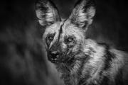 Portret van een Afrikaanse wilde hond - Portrait of an African Wild Dog