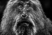 Portret van een Tibetaanse Makaak - Portrait of ;a Tibetan Macaque
