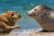 Grijze zeehonden - Grey Seals - Halichoerus grypus