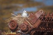 Drieteenmeeuw - Kittiwake; - Rissa tridactyla