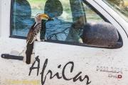 Zuidelijke geelsnaveltok - Yellow-billed Hornbill - Tockus leucomelas