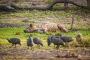 Gevlekte hyena; Spotted Hyena; Crocuta crocuta