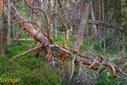 Oerbos Zweden-Primeval forest Sweden