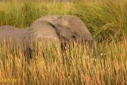 Afrikaanse olifant-African Elephant; Loxodonta africana