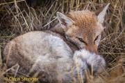 Patagonische grijze vos - Patagonian Grey Fox - Lycalopex griseus