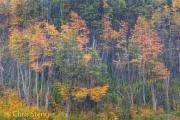 Lenga bomen - Lenga trees - Nothofagus pumilio