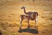 Guanaco - Guanaco - Lama guanicoe