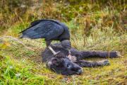 Amerikaanse zwarte gier - American Black Vulture - Coragyps atratus