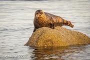 Grijze zeehond - Harbour seal - Phoca vitulina
