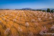 Amandel boomgaard - Almond orchard