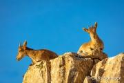 Spaanse Steenbok - Spanish Ibex - Capra pyrenaica