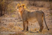 Jonge mannetjes Leeuw - Young male Lion - Panthera leo