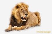 Mannetjes Leeuw - Male Lion
