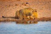 Leeuw - Lion - Panthera leo
