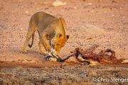 Leeuwin bij prooi - Lioness with prey