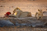 Leeuwen familie bij een prooi - Lion family with prey