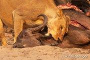 Leeuwin met prooi - Lioness with prey