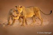 Spelende leeuwen - Playing lions